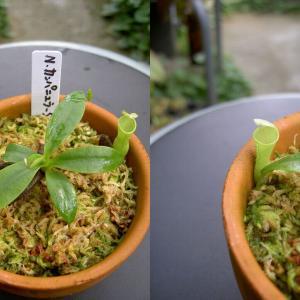 本日は、N.campanulata Sh.Kurata(NO-2)です。
