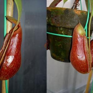 本日は、N.thorelii×Coccineaです。