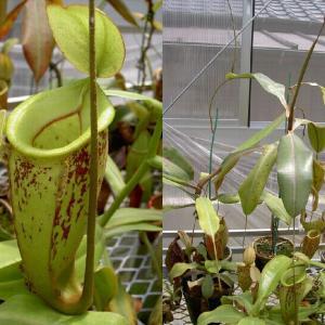 本日は、N.×hookeriana vittata山本です。