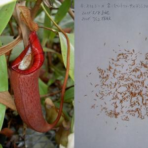 本日は、N.smilesii×(N.ventricosa×densiflora)の交配‐その13