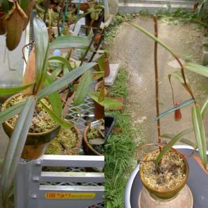 本日は、N.gracilis 'Bau Black'です。