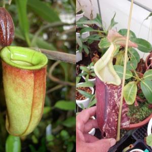 本日は、(N.rowanae×ampullaria・red-stripe)×rafflesian