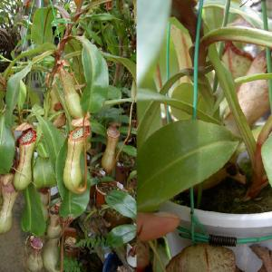 本日は、N.clipeata×ventricosaです。