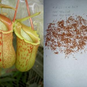 本日は、N.smilesii×Nanbaraの交配‐その13について紹介します。