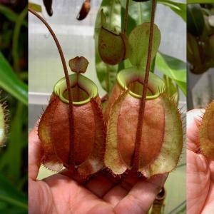 本日は、N.ampullaria 斑点系×viking(B)#4です。