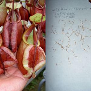 本日は、N.trichocarpa×viking var boatform sib(Red系)