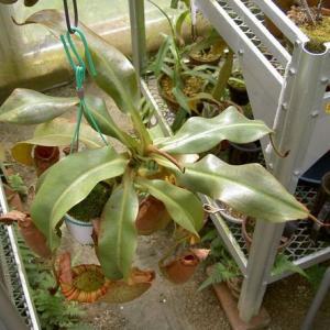 本日は、N.veitchii(L)×Miranda Stripedです。