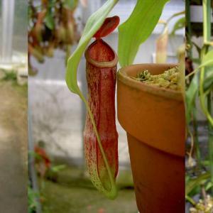 本日は、N.mirabillis Redです。
