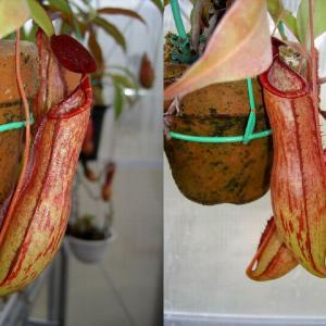 本日は、N.thorelii Lecomte.forma rubraです。