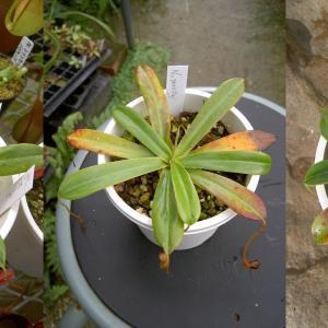 本日は、N.pervillei Blumeです。