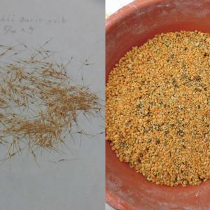 本日は、N.veitchii Bario ×sibの播種 ‐その1について紹介します。