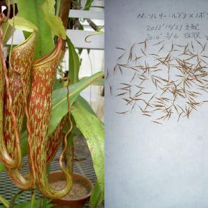 本日は、N.thorelii rubra×Noboriryuの交配‐その12について紹介します。