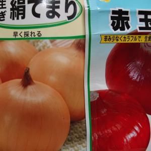 玉ねぎの種まき