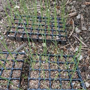 玉ねぎ定植のタイミングとは