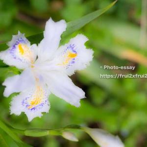 春の花シャガ