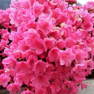 愛らしい匂い桜