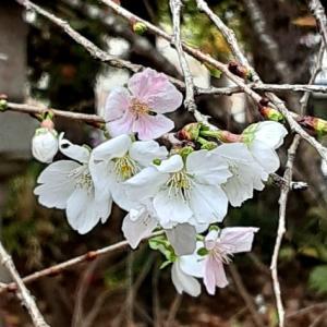 秋に咲く四季桜