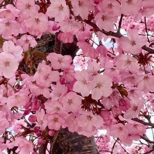 今日の桜と多肉植物
