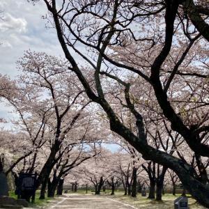 今日の桜と探し物