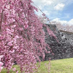 今日の桜と石垣