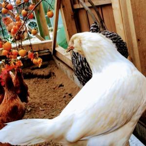 今日の出来事/鶏に餌として柿を与えてみた2.