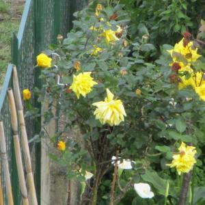 黄色いバラ☆