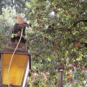 木に囲まれた街灯にとまるシラコバト♪(orワライバト?)