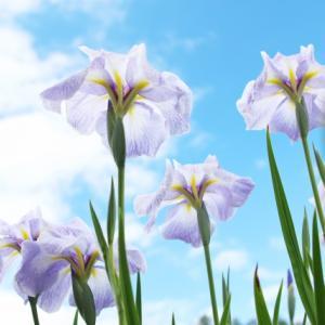 4月17日  今日のお花は『あやめ、アイリス』花言葉は『希望』