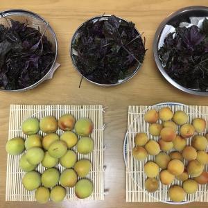 【初めての梅仕事①】梅干し作りと梅シロップ作りの気づきを共有します。