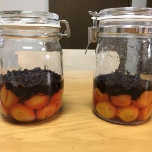 【初めての梅仕事②】梅干しに、赤紫蘇を塩でもんで投入します。