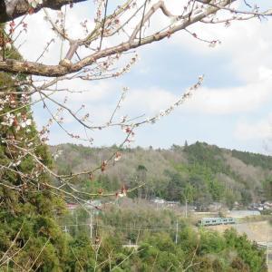 開花の枝の隙間から・烏山線