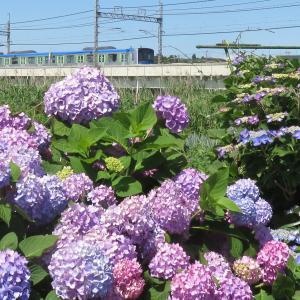 東武野田線元荒川橋梁近くの紫陽花は