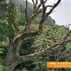 561、栃の木の巨木を最初に見た時。凄い!凄い!凄い! 一枚板と木の家具の専門店エムズファニチャーです。