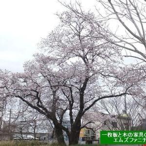 804、今年もお店の近くの一本桜が咲きました。その桜を見ながら思う事。 一枚板と木の家具の専門店エムズファニチャーです。