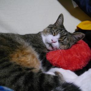 今夜も 愛猫ももっちに癒されて