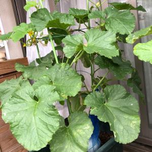 プリンスメロン枯れた 41、鉢植えが裂果した