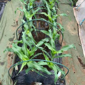 秋トウモロコシに3つの壁 10、防虫ネットを外します