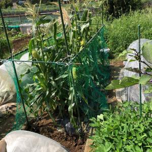 秋トウモロコシに3つの壁 17、ハクビシン対策
