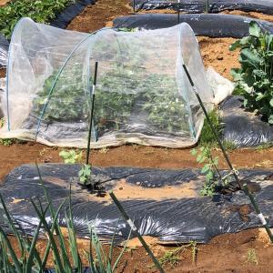これからイチゴを植えますが 42、有機イチゴ
