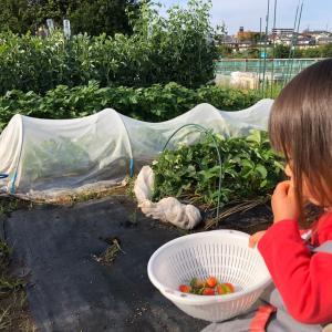 これからイチゴを植えますが 43、今年は豊作