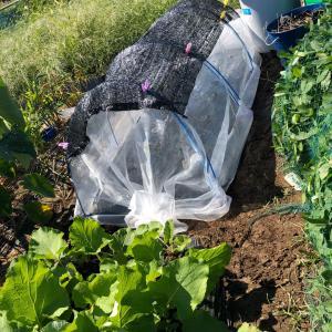 ダイコンの紙筒栽培をやってみた 28、根切り虫
