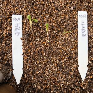 ダイコンの紙筒栽培をやってみた 30、収穫!