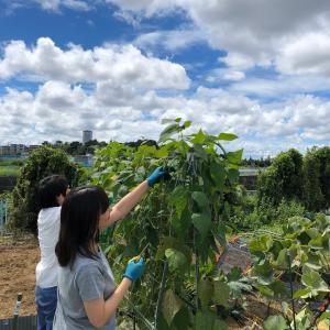 豆→豆の連作をやってみる 16、インゲンの収穫