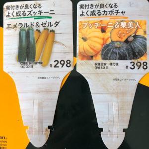 スイカとカボチャは空中栽培で 16、カボチャのセット苗