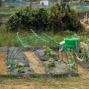 スイカとカボチャは空中栽培で 18、大トンネルを組む