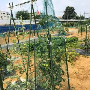 スイカとカボチャは空中栽培で 22、シェア畑のスイカが