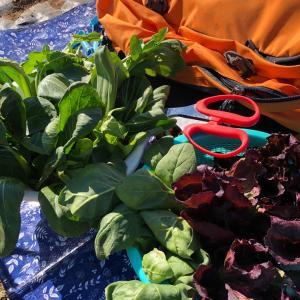 家庭菜園のコスパを考える 57、セット野菜