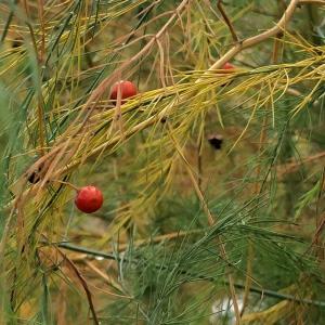 アスパラガスの赤い実