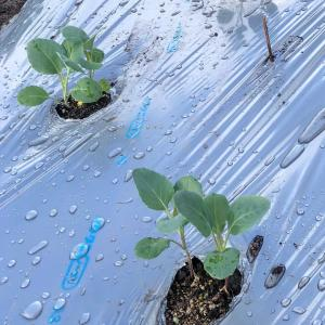 カリフラワー定植、シルバーマルチで
