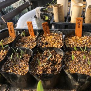 [連載] ミニトマトのソバージュ栽培 4、ポット上げです